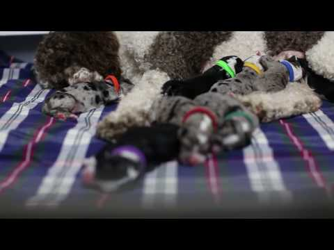 Newborn Aussiedoodle Puppies!