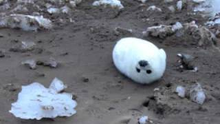 seal pup.AVI