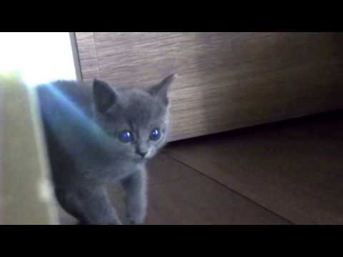 a kitten 60 days old 【Russian Blue】