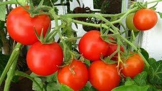 видео Особенности выращивания укропа на подоконнике, подходящие сорта, секреты агротехники