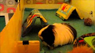 Compilation of Guinea Pigs popcorning