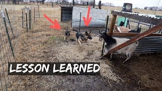 german-shepherd-puppy-gets-taught-a-lesson-from-the-goats