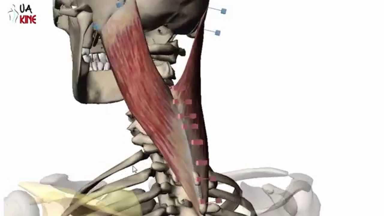 Anatomía Esplenio de la Cabeza (Características) - YouTube