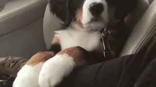 Dog seating like a human in the car