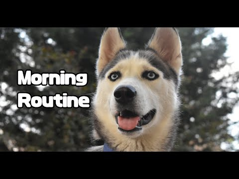 Morning Routine with 4 Huskies | Funny Siberian Husky Dogs Howling