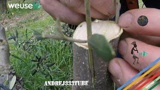 Innesto di olivo (o ulivo) adulto - Potatura e innesto a corona (parte 1) - Tecniche di innesto