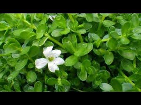 cetella asiatica | Bacopa Monnieri Plant | ब्रह्मी की पहचान |