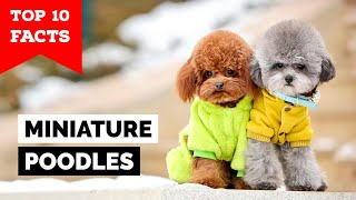 Miniature Poodle  Top 10 Facts