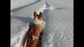 やっぱり雪が好き!新雪をラッセルしまくるコーギー