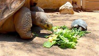 500 Pound Tortoise Eating Salad with 8 Pound Tortoise