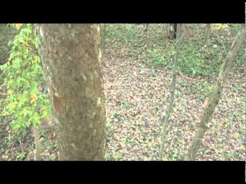 Whitetail Spear Kill Cold Steel (UNCUT AND BRUTAL)