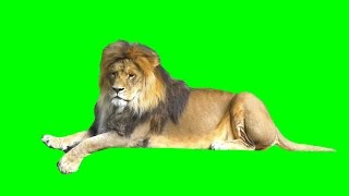 Real lion isolated on green screen