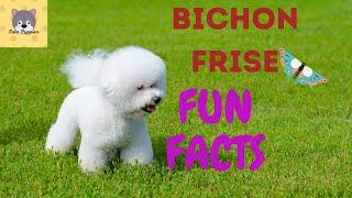 Bichon Frise Dog Breed Fun Facts, Breed Characteristics, Health, Grooming etc