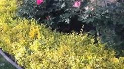 Euonymus fortunei 'Emerald 'N Gold' -  'Emerald 'N Gold' Wintercreeper
