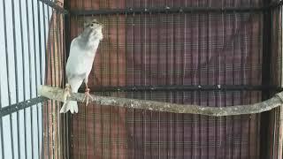 Download lagu #burung #kicau #kicaumania #kenari  Kenari Panda (Sf x Gloster) isian Blacken Blackthroat BT Nano2