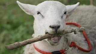 Овца выращенная собаками