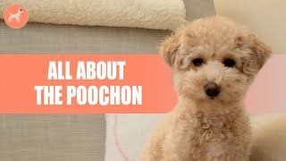 Bichon Poodle Mix: Everything About The Perfect Teddy Bear Mix(Before You Get One)