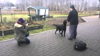 FLAT-COATED RETRIEVER VIDEO PHOTO SHOOT IN FINLAND BY IDA PHOTOS