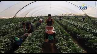 Uprawa truskawek na wzór hiszpański w Polsce