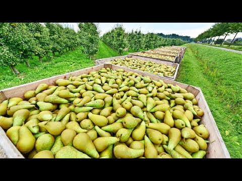 Awesome Pears Cultivation Technology - Pears Farming and Harvest - Pears Processing