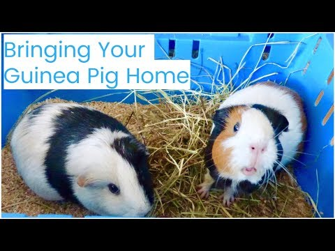 Bringing Your New Guinea Pig Home