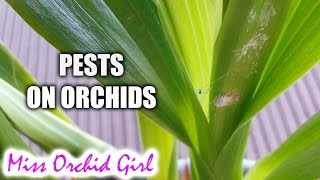 Signs of pests on Orchids