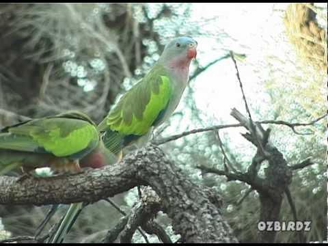 Princess Parrot – 3