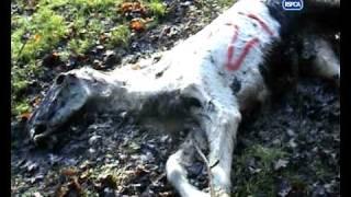 RSCPA footage from Spindle Farm in Amersham