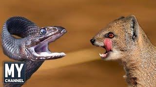 En İnanılmaz 10 Hayvan Kavgası - (Most Amazing 10 Animal Fight)