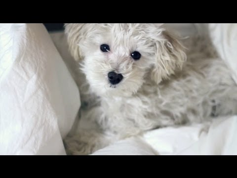 Moki Compilation – Maltipoo Puppy growing up :)