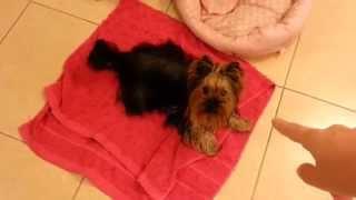 Darya Yorkshire Terrier - Discipline Exercise