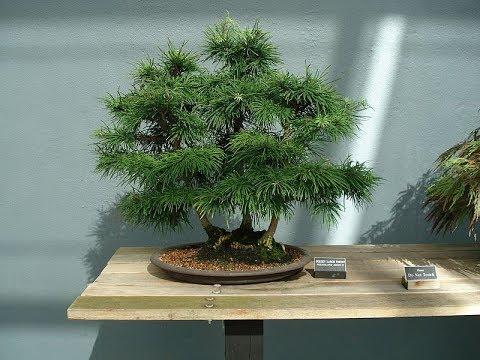 Chinese Larch Bonsai Tree Youtube