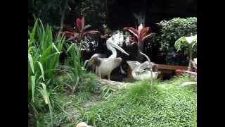 Пеликан защищает своего птенца