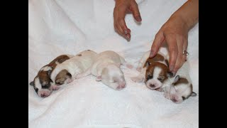 Coton Puppies For Sale - Jolie 1/14/21