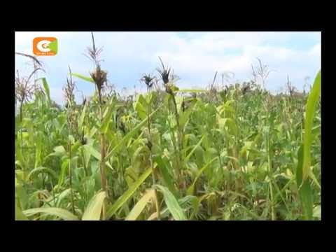 Maize disease destroys several acres of maize plantations in Nandi County