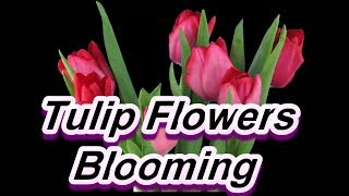Tulip Flowers  Blooming