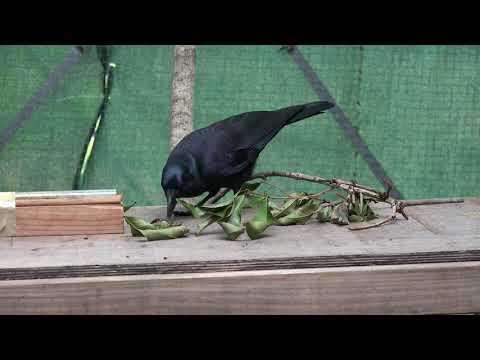 Crow Makes a Stick Tool to Retrieve Meat