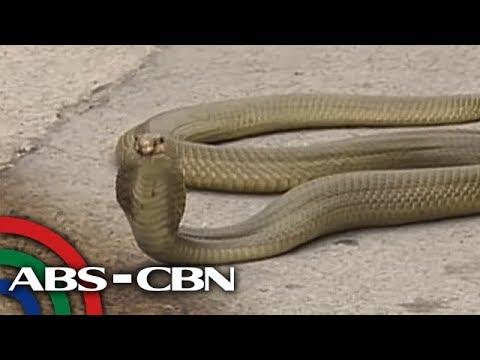 TV Patrol: Cobrang nahuli sa baha, inadobo sa Pampanga