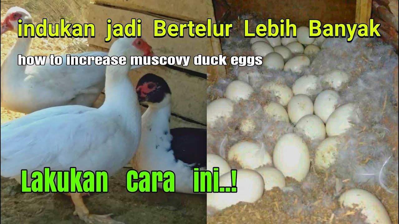 Cara meningkatkan produksi telur entok, agar mampu bertelur lebih banyak | muscovy duck