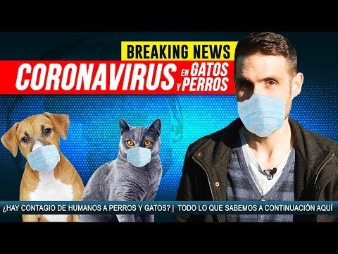 CORONAVIRUS En Gatos Y Perros 🐱🤒🐶| ¿Hay Riesgo De Transmisión Del Virus Entre Humanos-mascotas?
