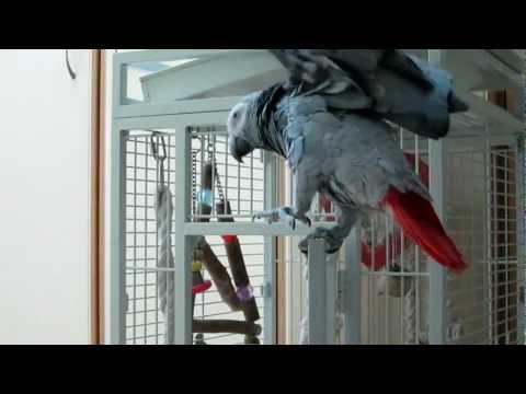 African Grey Parrot – Fart