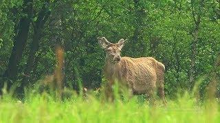 Jeleń (poroże) - powiastka leśnego człowieka