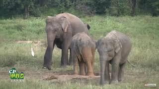 признаки СОзнания у Высших Животных - проявление любви и социализма у слонов