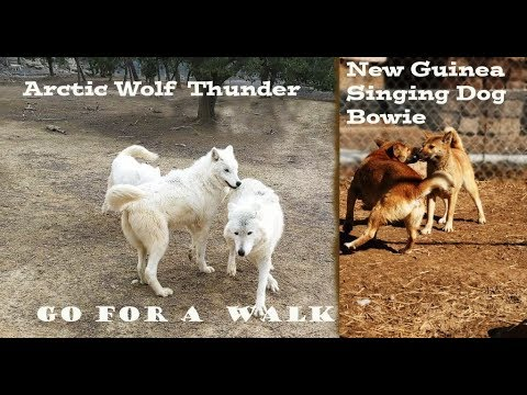 Walking Arctic Wolf and New Guinea Singing Dog