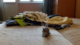 Домашний бурундук: после спячки