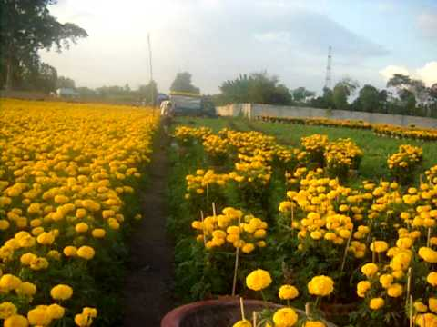 Trang trại bông vạn thọ Hữu Thái Thạnh Phú - Vĩnh Cữu