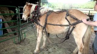 The American Working Horse: A Revival