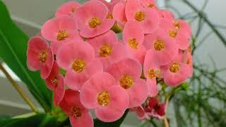 花のスライドショー、トウダイグサ科20180215