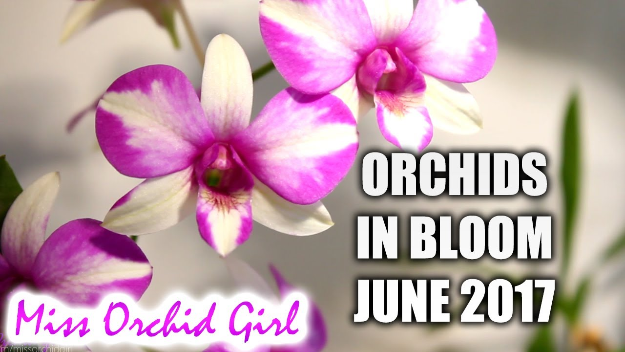 Orchids In Bloom June 2017 Youtube