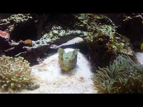 How To Get Anthias Fish  To Eat  In Your Reef Tank